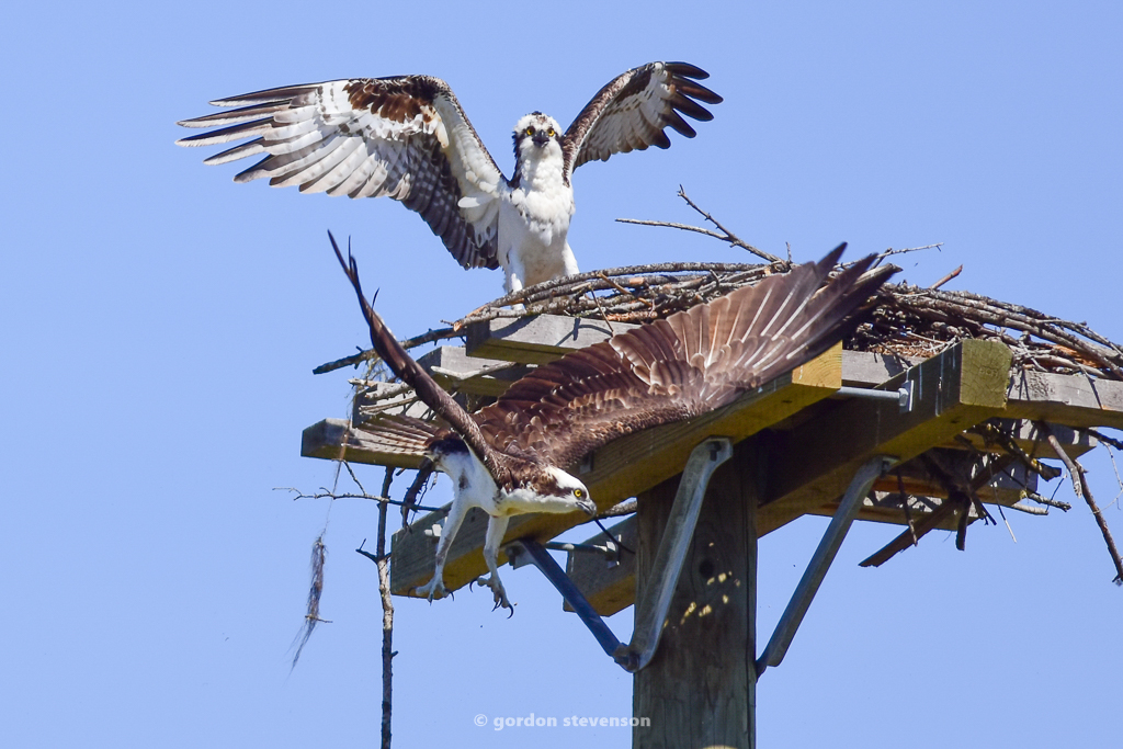 20160419-Ospreys attacking Ospreys-170