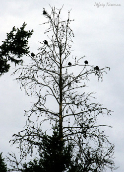 tree-crows-sil-250